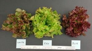 Red leaf lettuce grown under different spectral conditions resulted in leaves with different colors and tastes